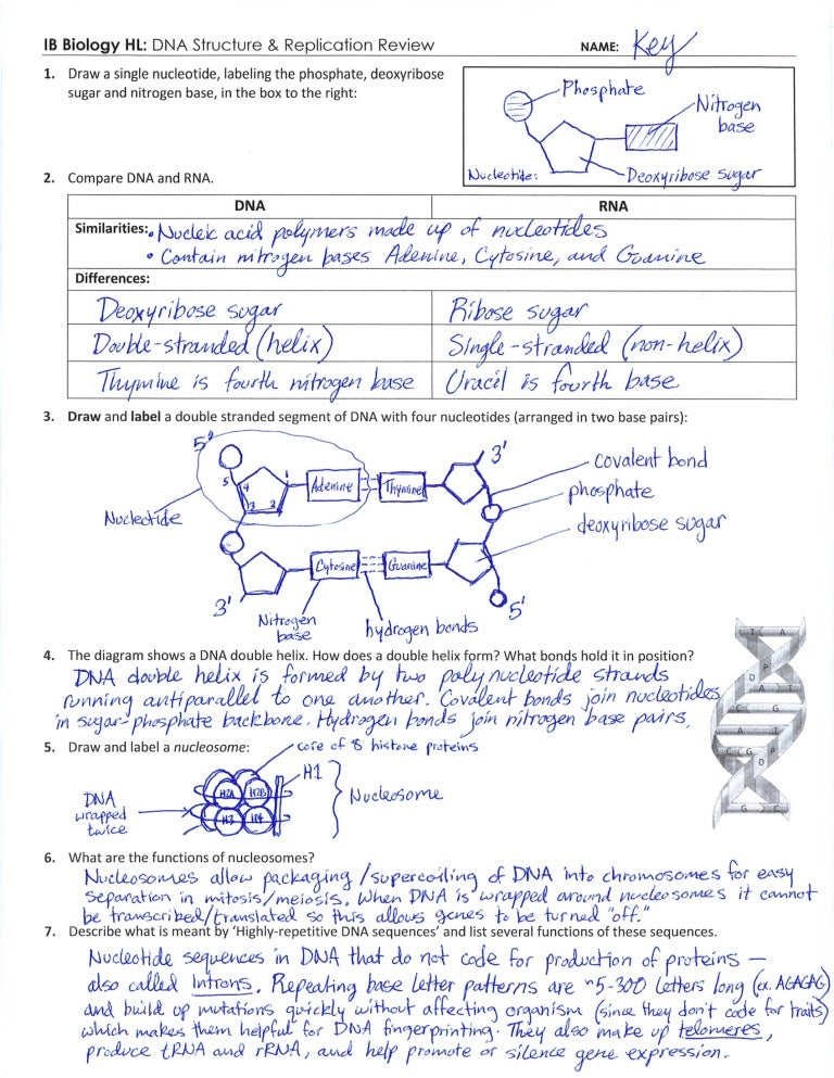 Dna Diagram Worksheet Answers - Wiring Diagram & Electricity Basics ...