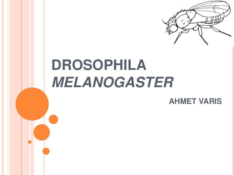 drosophila melanogaster genome analysis