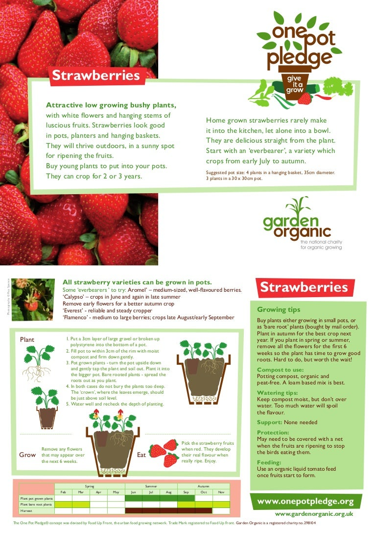 Strawberries Organic Growing Guides For Teachers
