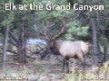 Elk At The Grand Canyon -- September 13, 2011