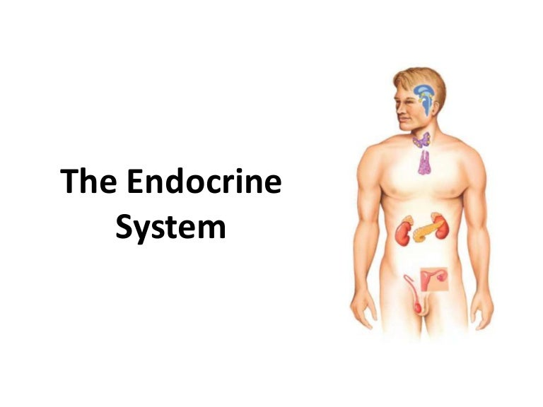 endocrine system overview - hs anatomy and physiology, Human body