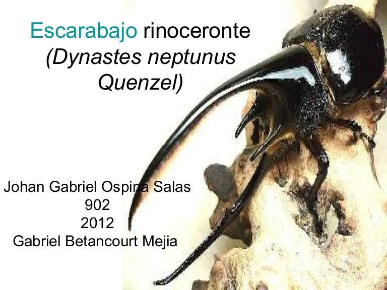 Escarabajo rinoceronte (dynastes neptunus quenzel)c