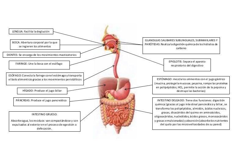 Increíble Diagrama Del Sistema Digestivo Y Las Funciones Imagen ...