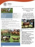 Small ruminant value chain development in Bonga, Ethiopia