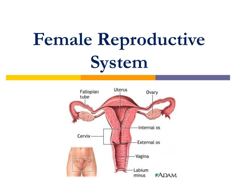 Femalereproductivesystem 120329125448 Phpapp02