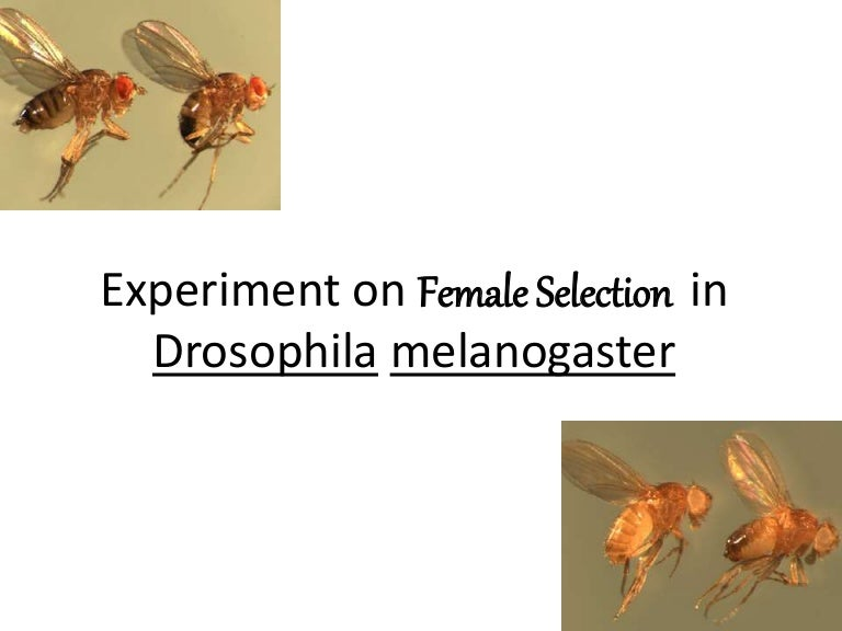 review of laboratory rearing of drosophila melanogaster biology essay Theory review and justification of the hypothesis: drosophila melanogaster are simply now generally referred as the common term fruit fly or vinegar fly these fruit flies as we call it can give us major fields of study within biology and genetics because they are very easy to care for and breed quickly.
