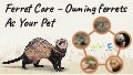 Ferret Care – Owning Ferrets As Your Pet