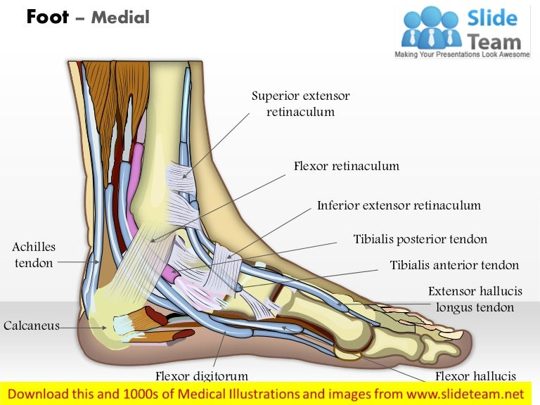 Foot medial medical images for power point ccuart Image collections