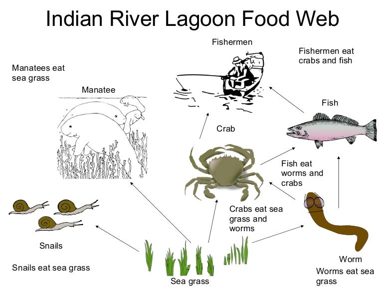 Manatee Food Chain Diagram Ocean Food Chain Wire Diagrams