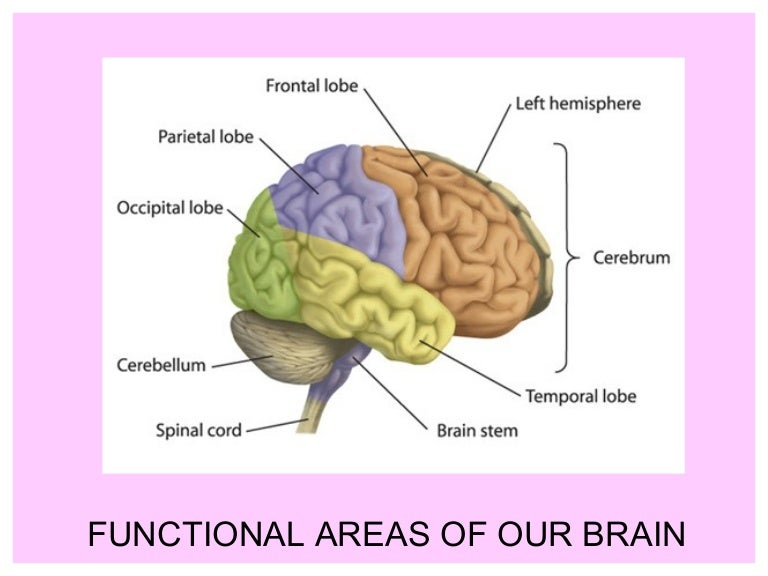 Functional ares of our brain 11362 thumbnail 4gcb1308779734 ccuart Images