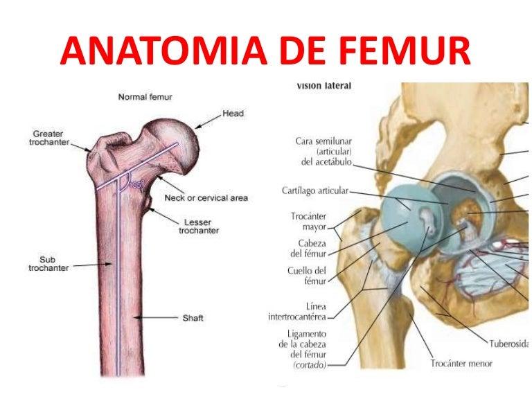 Perfecto Anatomía Del Cuello Del Fémur Bosquejo - Anatomía de Las ...