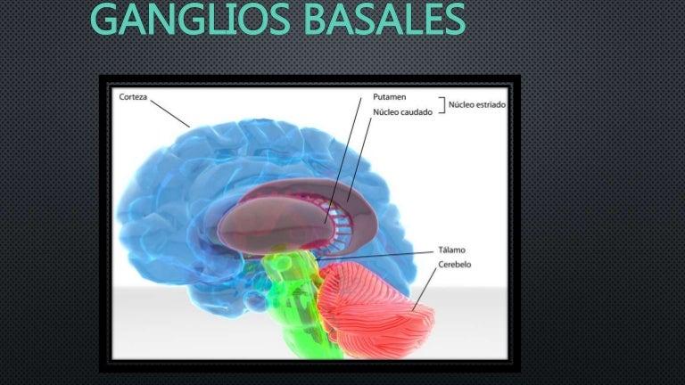 Resultado de imagen de Ganglios basales anatomía y funciones