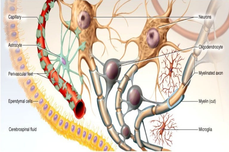 Glial cells - Neurobiology and Clinical Aspects
