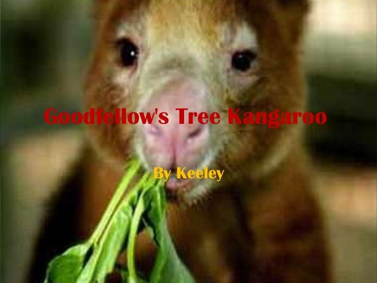 goodfellows tree kangaroo1