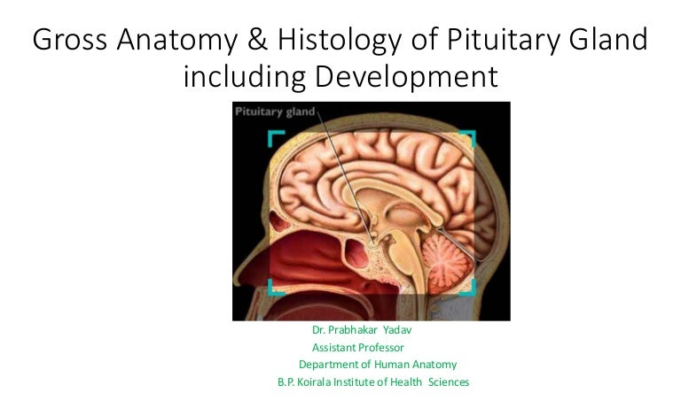 Gross anatomy and histology of pituitary gland