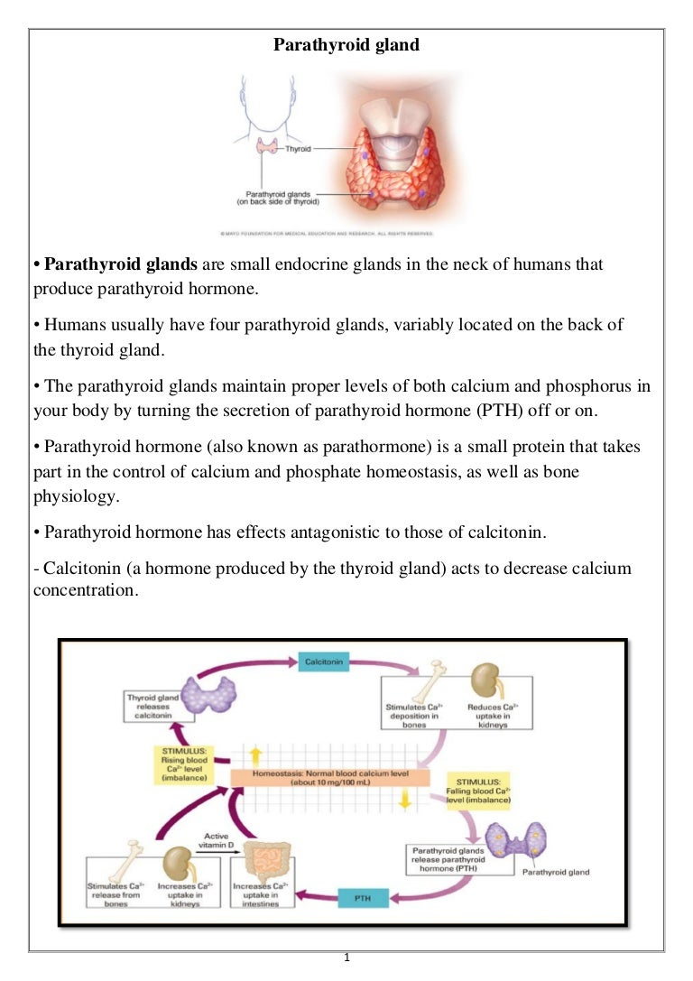 Parathyroid Gland And The Pituitary And Hypothalamus