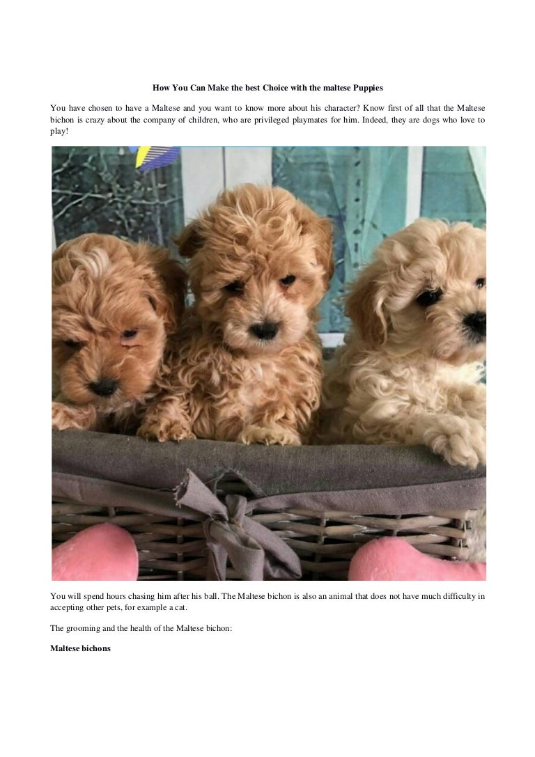 How You Can Make The Best Choice With The Maltese Puppies