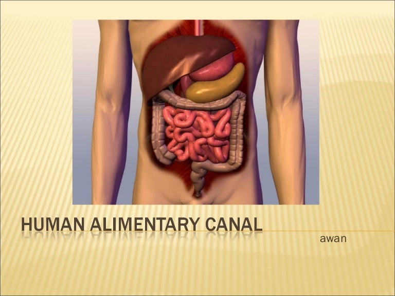 Grade 8 Intra Human Alimentary Canal