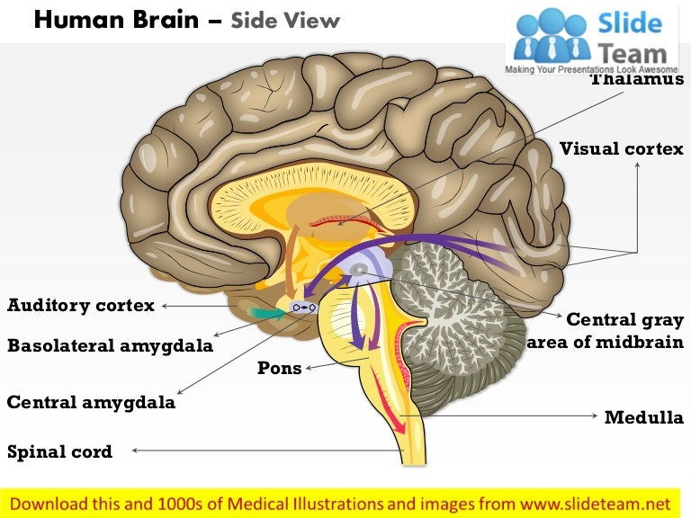 Human brain side view medical images for power point ccuart