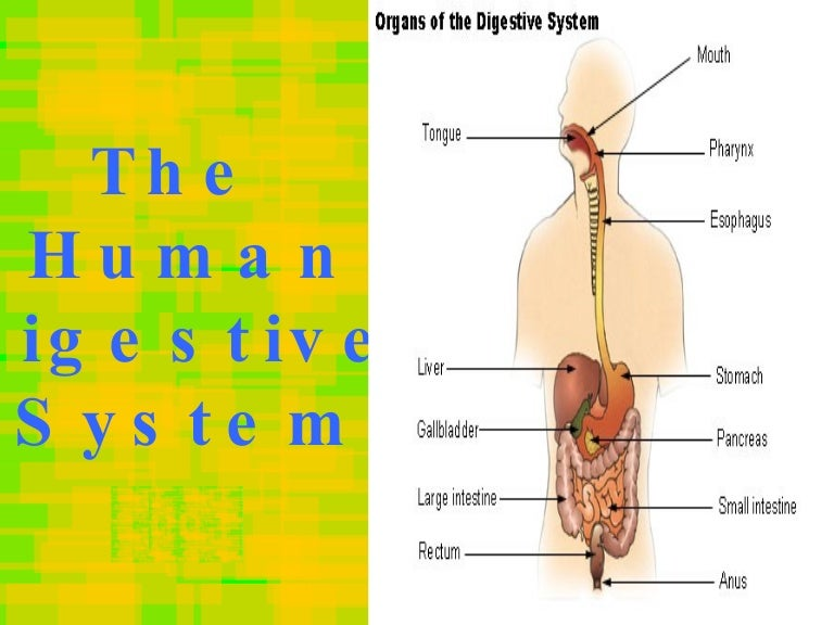 human digestive system essay example Human digestion summary the mouth is the beginning of the digestive tract it holds the teeth which are used to chew the food that is placed inside the mouth mechanical digestion is the physical break down of food into smaller pieces an example of mechanical digestion is when you bite.
