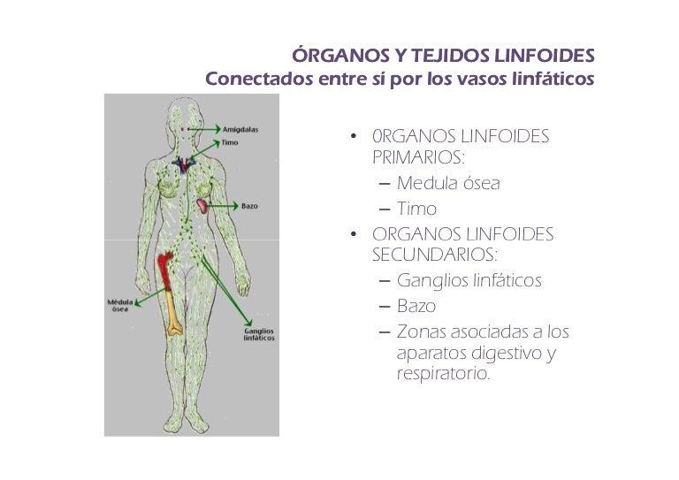 Fisiologia de Organos y tejidos linfoides