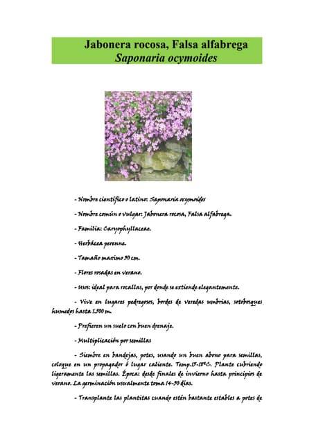 Jabonera rocosa