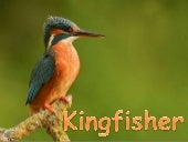 Kingfisher (v.m.)
