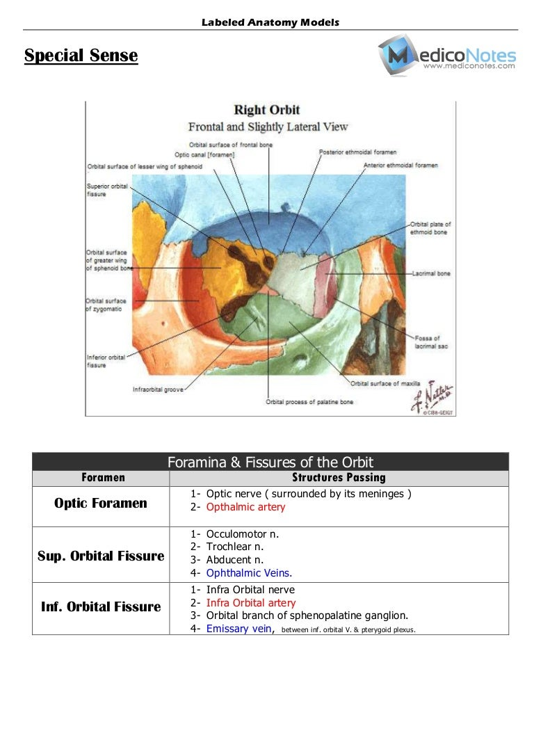 Labeled Anatomy Models