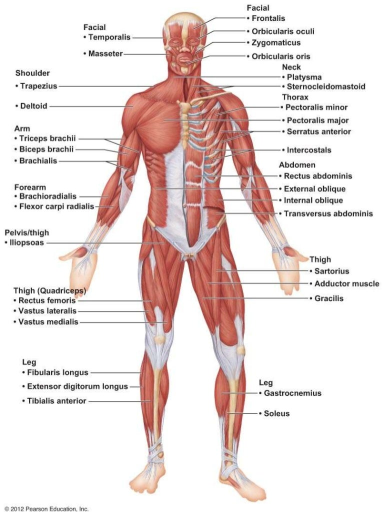 Muscle Diagram Anterior Unlabeled Study Illustration Of Wiring