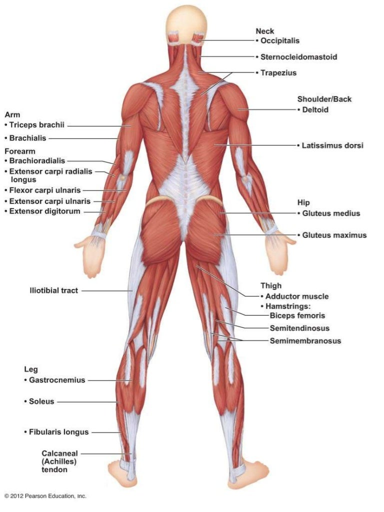 A amp P Ch 6 Muscular System Lab Quiz Practice Posterior