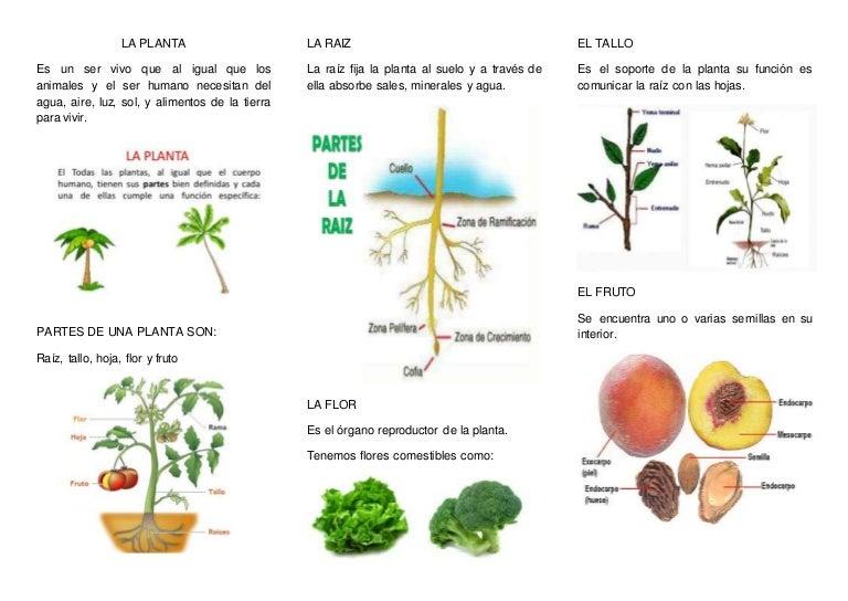 La planta for Como se llaman las plantas ornamentales