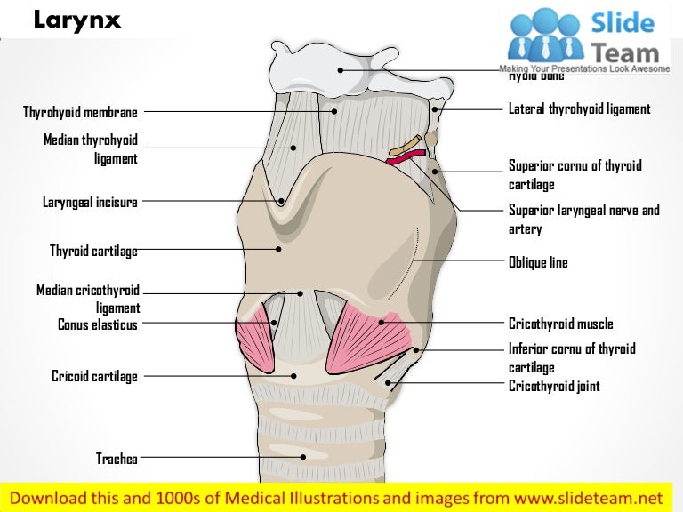 Larynx External Medical Images For Power Point