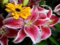 Beautiful Lily Flowers