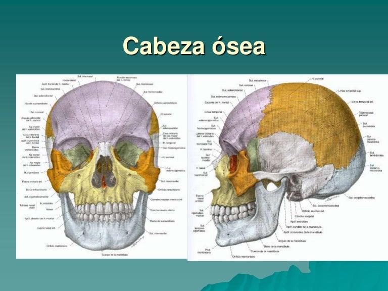 Cuello Los Huesos De La Cabeza — Vila \