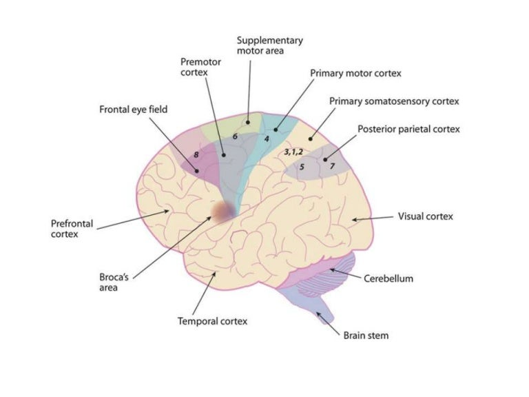 Motor cortex - Inputs, Outputs and functions in brief
