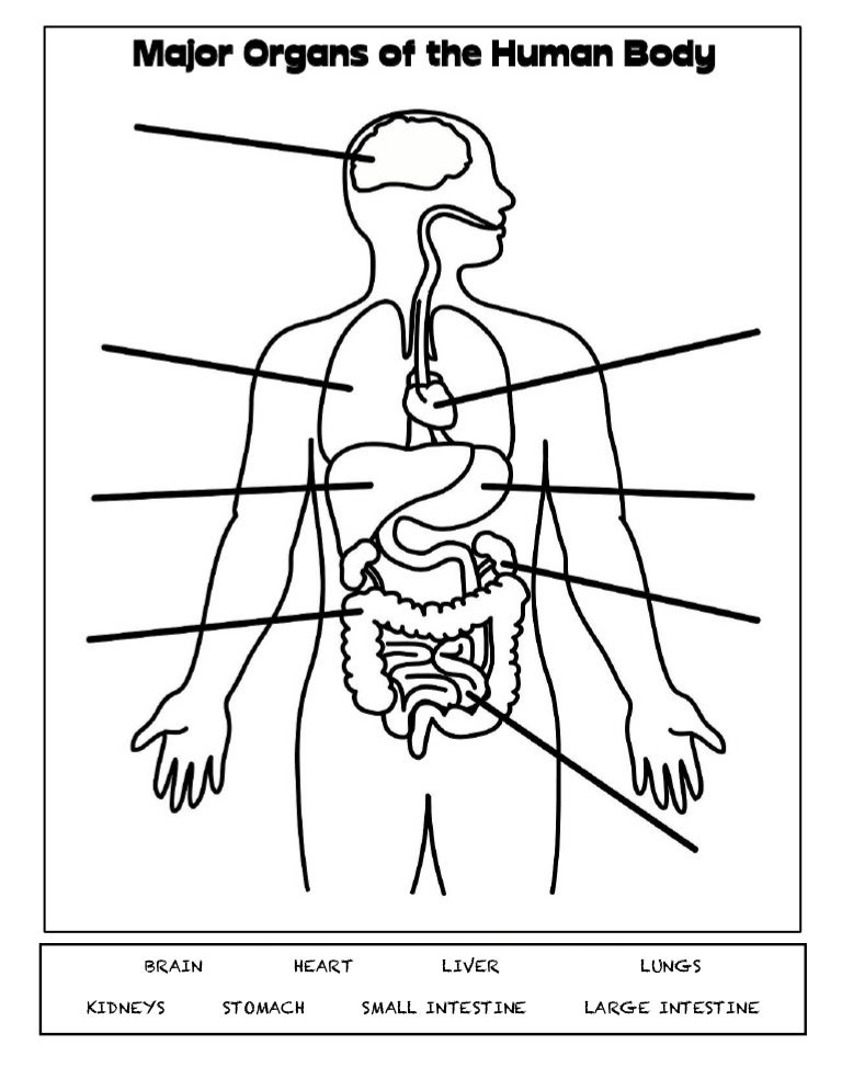 Major body organs ccuart Images