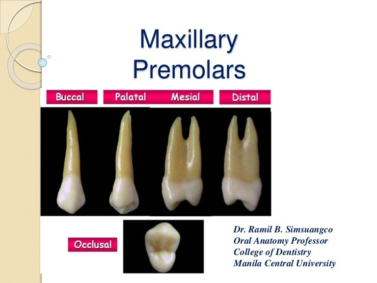 Permanent Maxillary Premolars