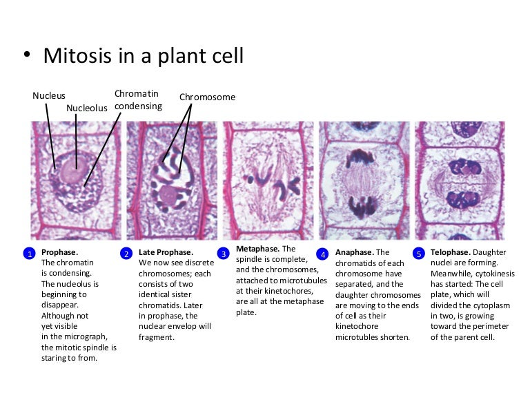 mitosis in a plant cell rh slideshare net Cell Cycle Diagram Worksheet stages of plant cell cycle diagram