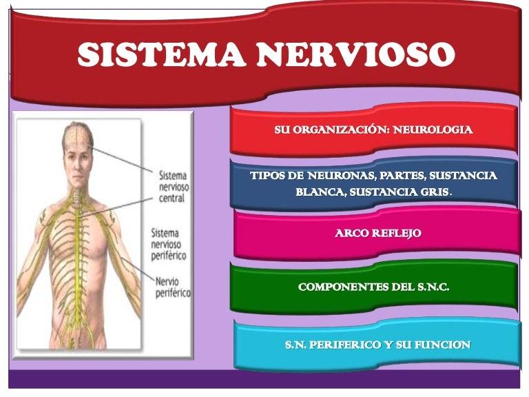 Morfologia sistema nervioso