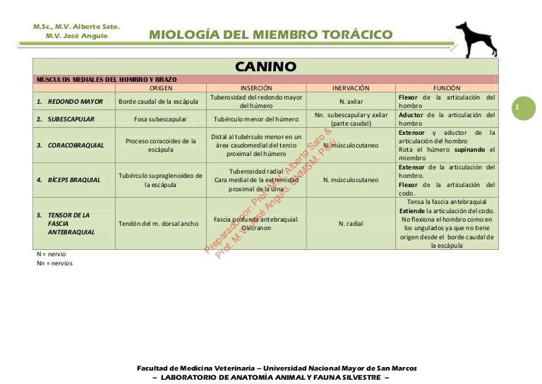 MÚSCULOS DEL MIEMBRO TORÁCICO (ANTERIOR) DEL CANINO