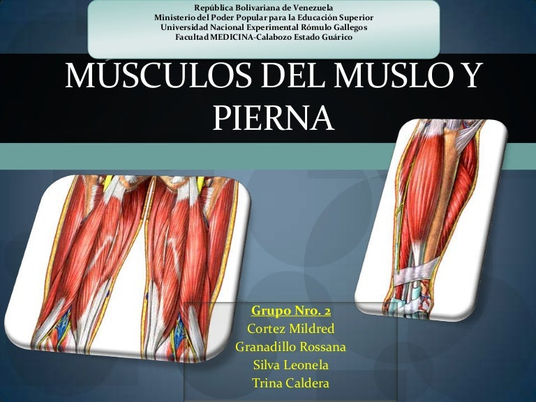 MúSculos Del Muslo Y Pierna