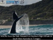 Mucru from the field: : Research on Southern Right Whales in South West Australia in 7 images