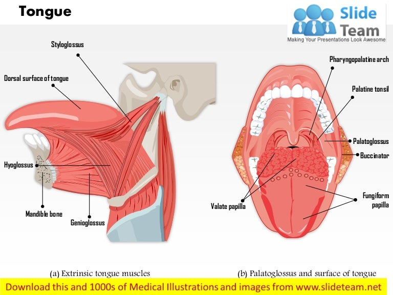 Muscles That Move The Tongue Medical Images For Power Point