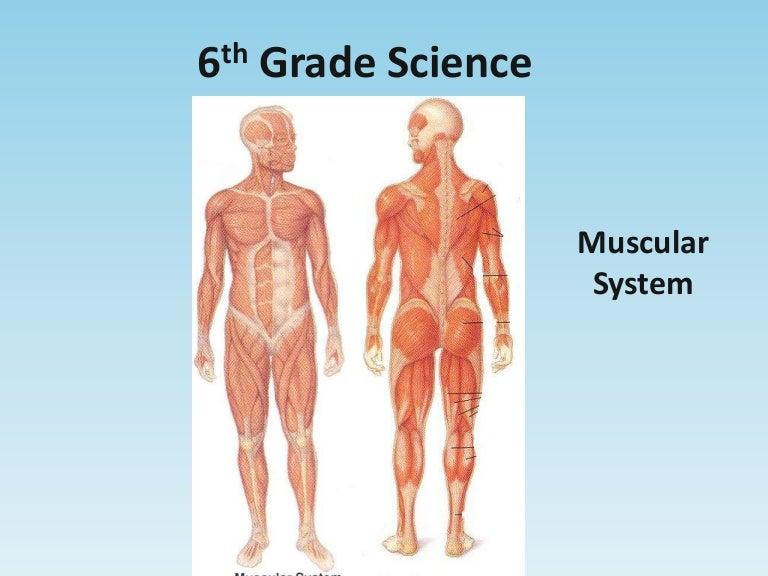 Muscularsystem 110313103406 Phpapp02 Thumbnail 4gcb1300012510