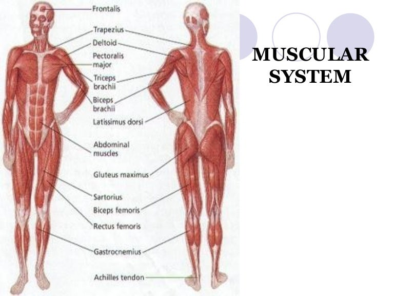 Muscular System Facts Eliot Journal