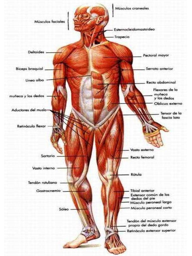 Increíble Superior Diagrama De Músculos Del Cuerpo Embellecimiento ...