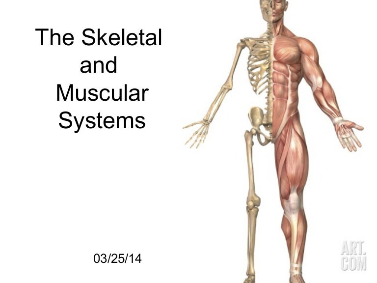 relationship between axial skeleton and appendicular