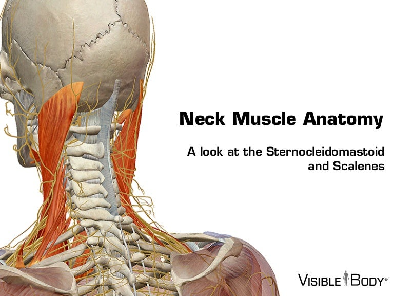 Visible Body Sternocleidomastoid And The Scalene Muscles