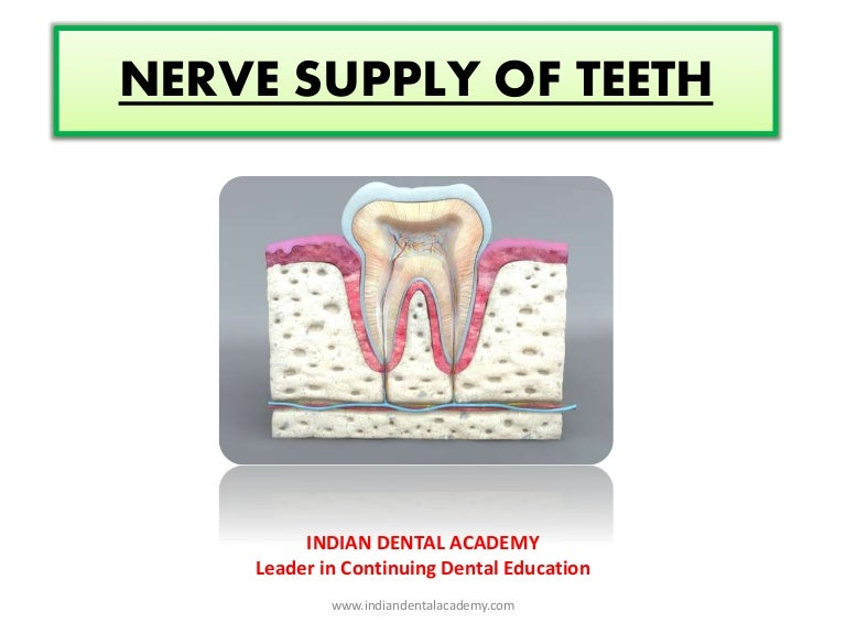 Nerve Supply Of Teeth Endodontic Courses