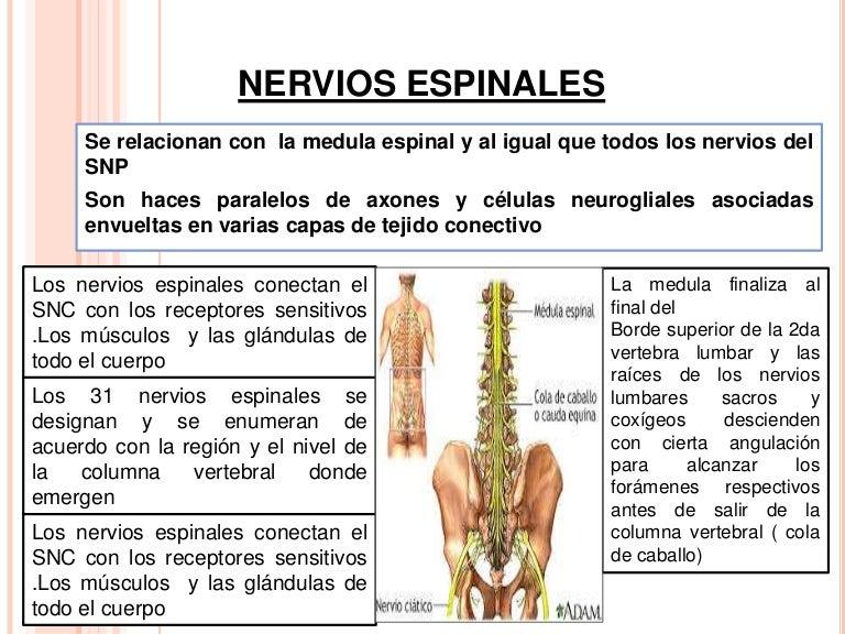 nerviosespinales-161210192845-thumbnail-4.jpg?cb=1481404004